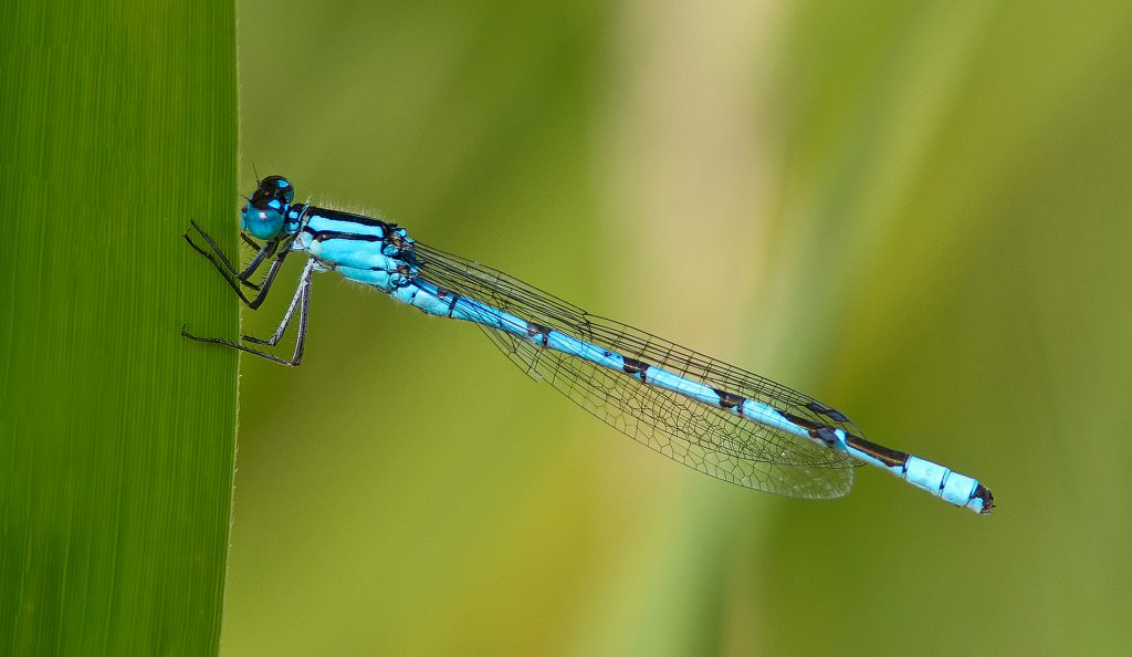 Dazzling Damselflies, by Alice Ashcroft, Hampshire & Isle of Wight Wildlife Trust